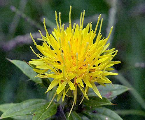 A Safflower - Picture courtesy of Wikipedia