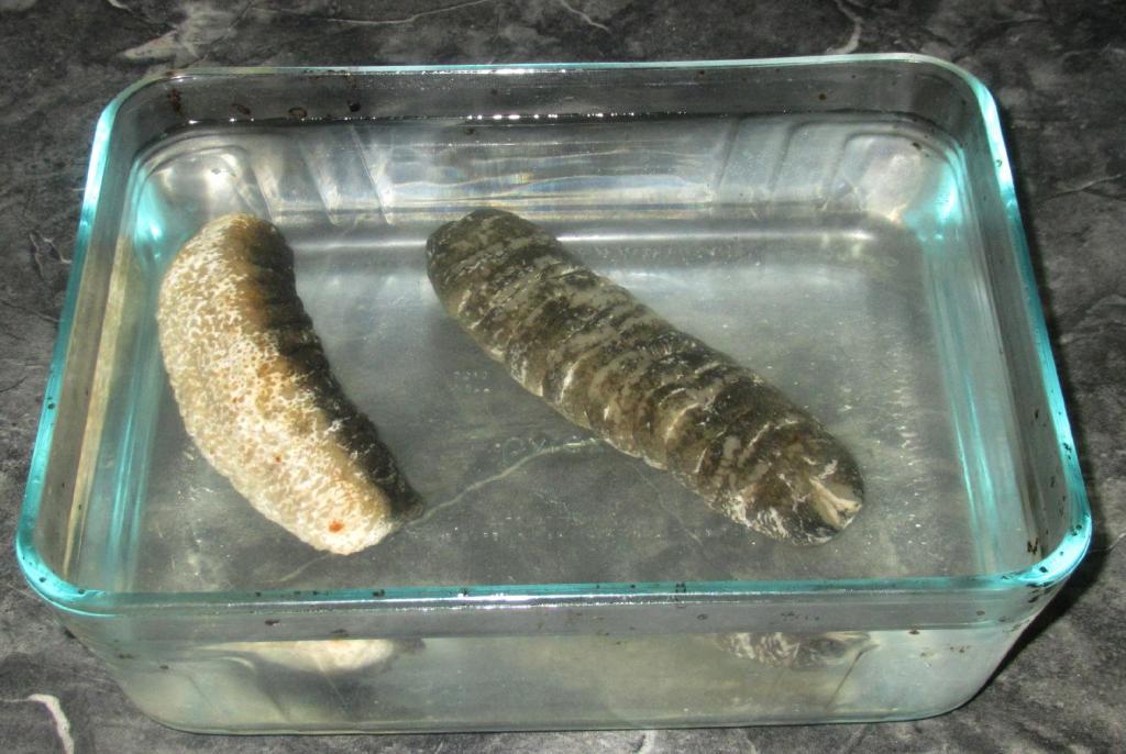 Soaking 海参 (aka Sea Ginseng)