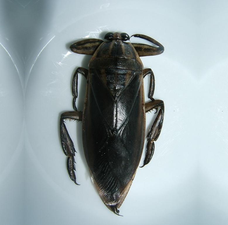 A Mangdana Beetle