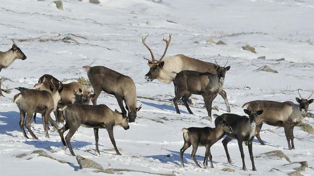 Caribou Foraging