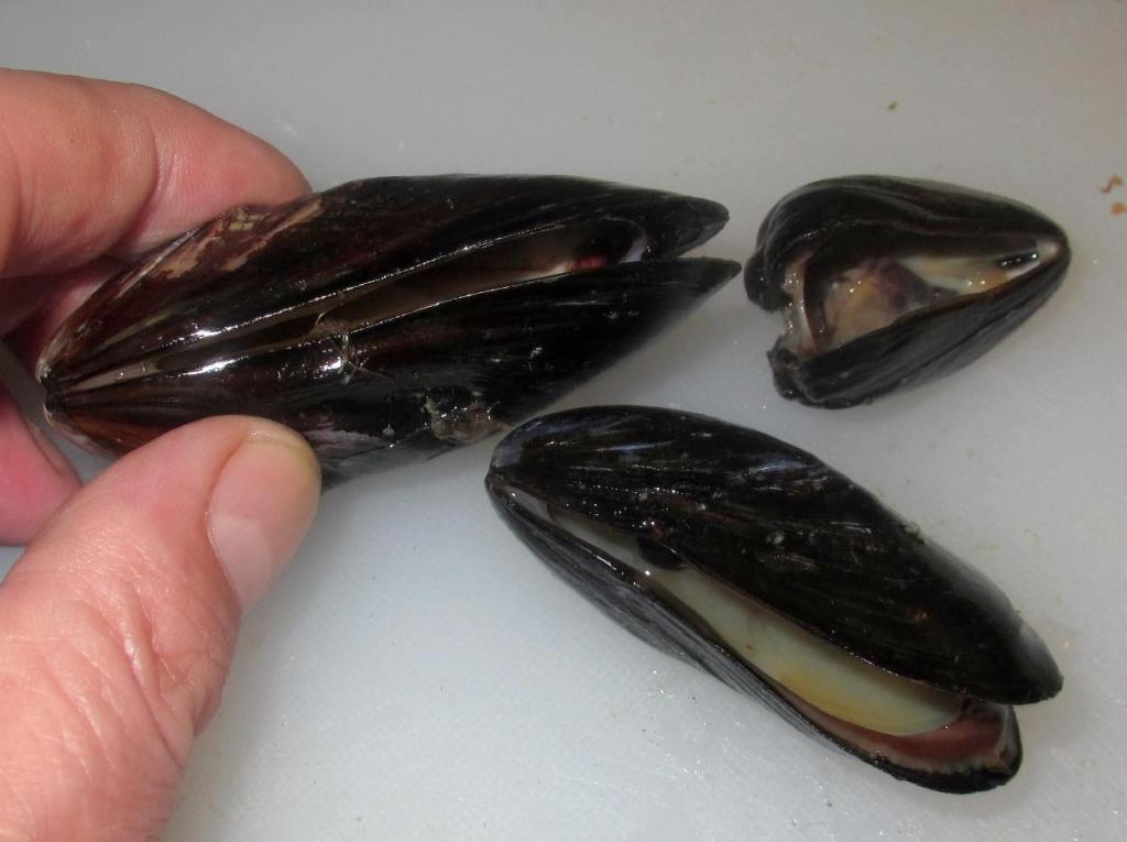 Inspecting Mussels for Quality