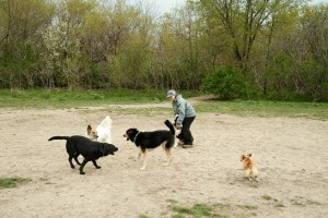 Etobicoke Valley Dog Park - 4 dogs playing in the main area