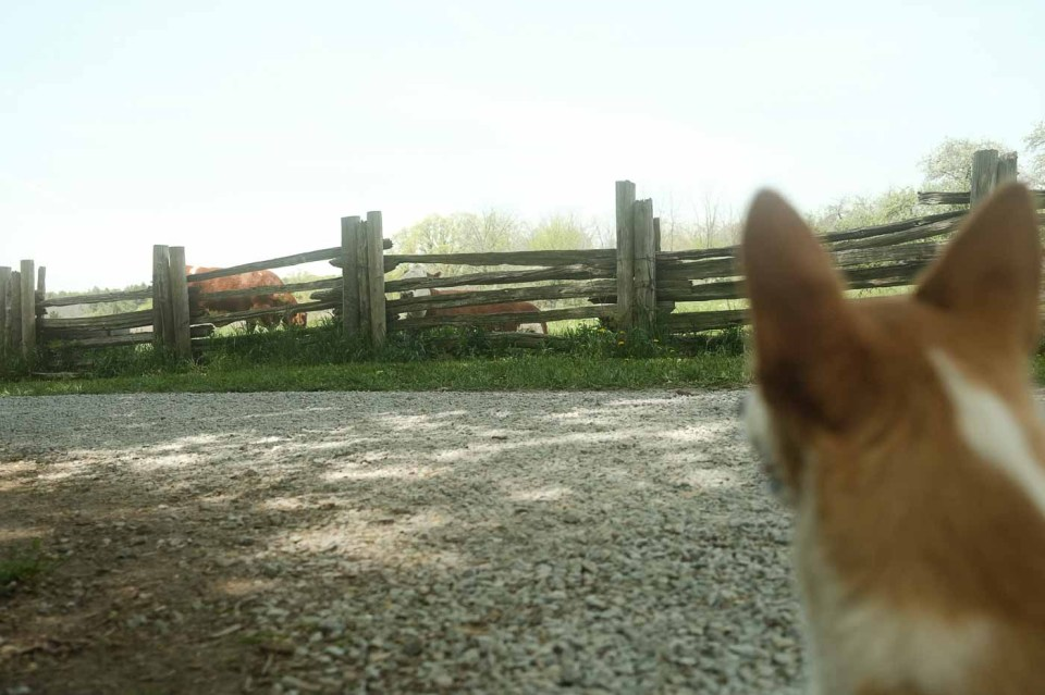Limone working on desensitization with cows at the farm located in Bronte Creek Provincial Park