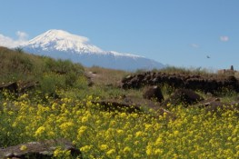 Carpets of wild flowers against Ararat backdrop