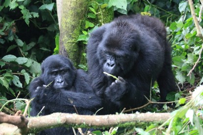 Mother and son, the Rushegura Mountain Gorilla Family, Bwindi Forest