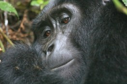 Young gorilla from the Rushegura family, Bwindi Forest