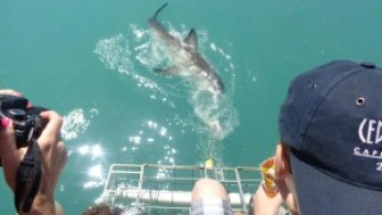 Cage Diving with Sharks in South Australia