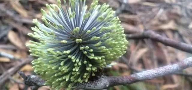 Rocky Hill loop (Garigal National Park) flower