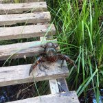 Deep Creek to Bahai Temple - yabby on bridge