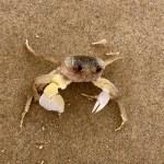 Yuraygir Coastal Walk - crab