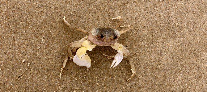 Yuraygir Coastal Walk - crab