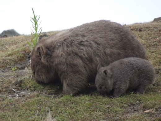 Maria Island Wombat Mother and Child