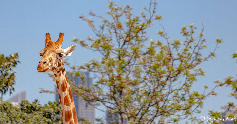 シドニー湾を一望する絶景動物園 TARONGA ZOO(タロンガ動物園)| MOSMAN