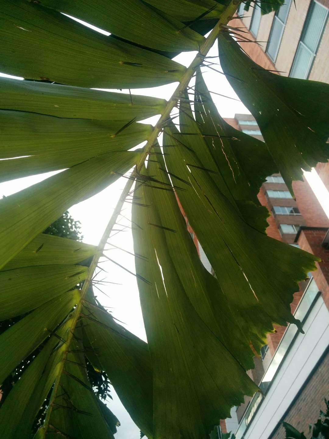 Thorny leaves along street near the Airbnb apartment in Envigado