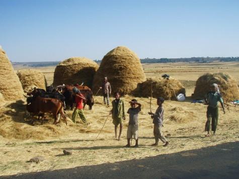 Kyr tråkker gress ute på den etiopiske landsbygda!