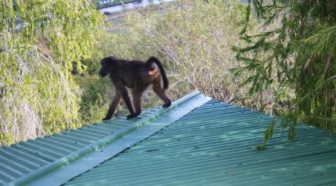 En bavian på taket!