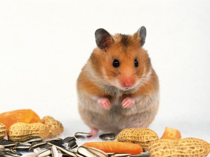 karvaisia naisia hamsteri