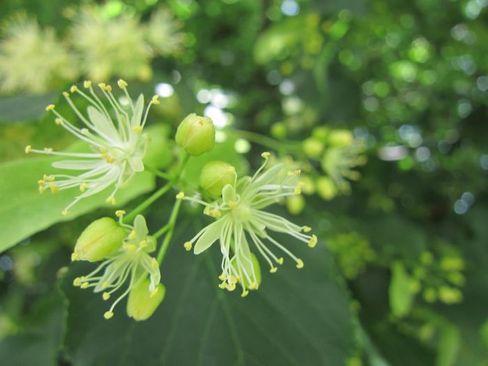 Цветок липы рисунок. Разновидности липы и их биологические особенности