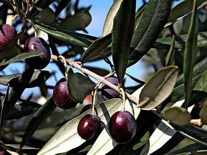 ᐉ Как вырастить оливу из косточки