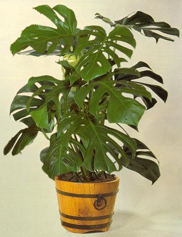 Монстера (Monstera) – уход, фото, виды. Комнатное растение монстера уход в домашних условиях размножение и пересадка фото видов