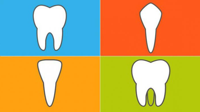 Что нужно знать про зубы человека анатомия схема расположения и функции