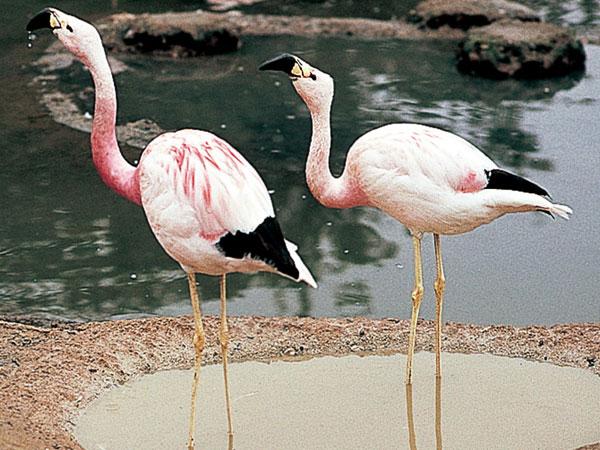 Чем питаются фламинго