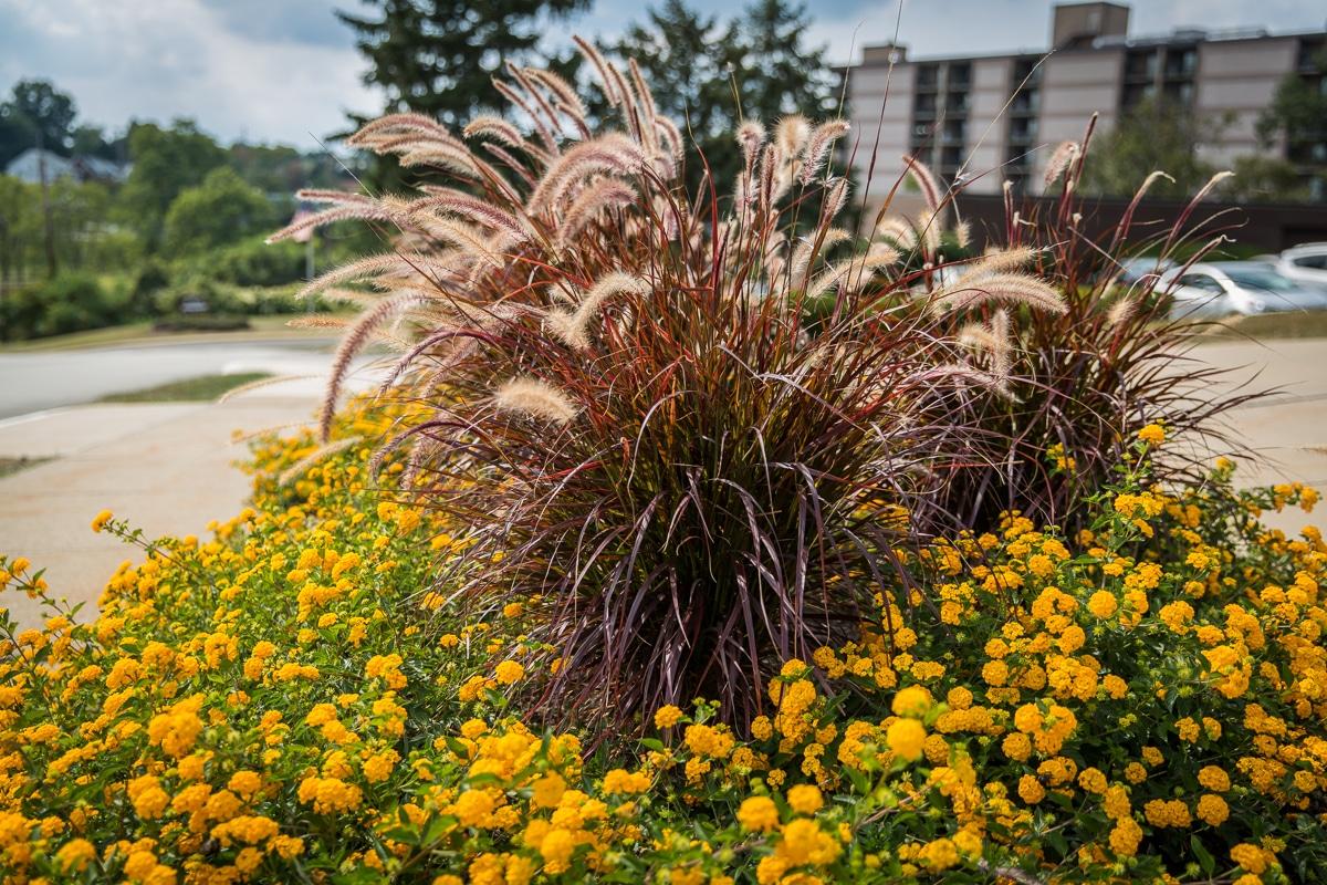 lantana pf 2   Sylvan Gardens Landscape Contractors