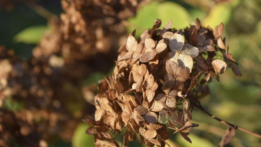 winter-garden-care-hydrangea