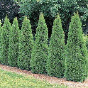 american-arborvitae-thuja-occidentalis
