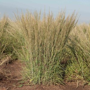 little-bluestem-schizachyrium-scoparium