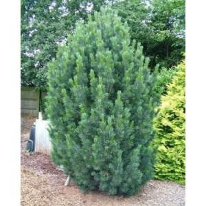 swiss-stone-pine