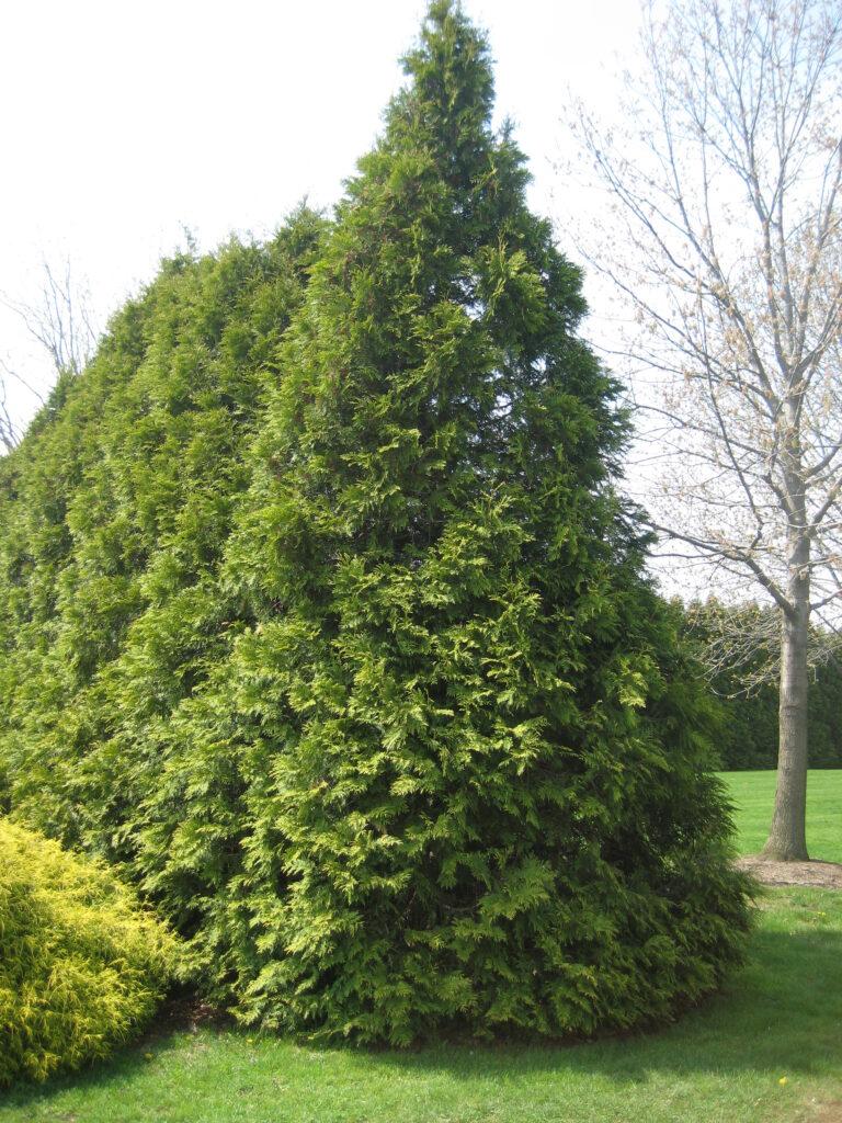 arborvitae-eligantissima-thuja-occidentalis-living-walls