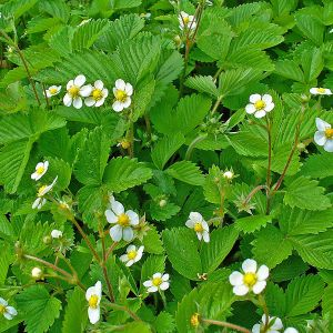 wild-strawberry-fragaria-vesca