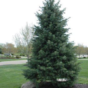 white-fir-abies-concolor