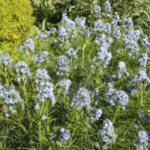 blue-star-amsonia-hubrichtii