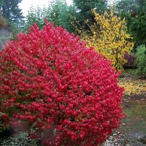 burning-bush-compactus-euonymus-alatus