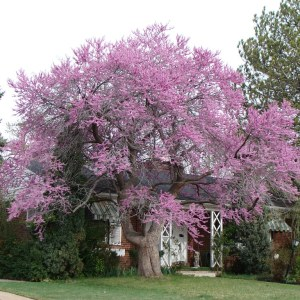 eastern-redbud-cercis-canadensis