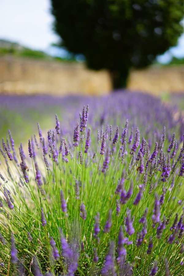 english-lavender-hidcote-lavandula-angustifolia