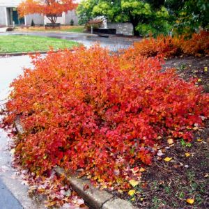 Fragrant-sumac-gro-low-rhus-aromatica