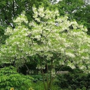 fringe-tree-chionanthus-virginica