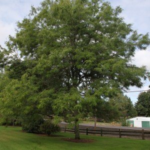 honey-locust-skyline-gleditsia-triacanthos-f-inermis