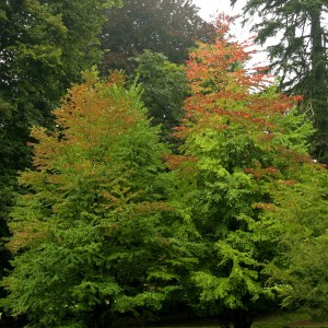 katsura-tree-cercidiphyllum-japonicum