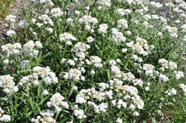 pearly-everlasting-anaphalis-margaritacea