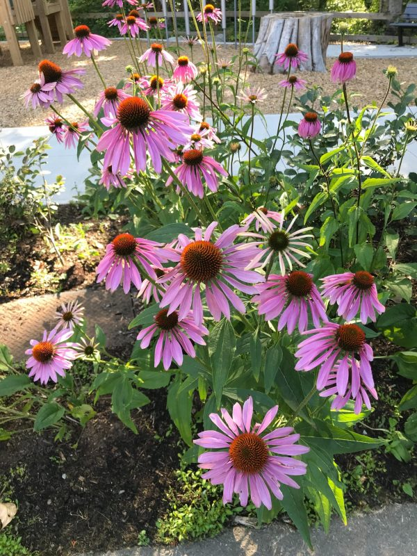purple-coneflower-echinacea-purpurea