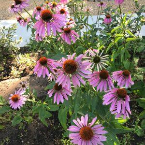 purple-coneflower-echinacea-purpurea