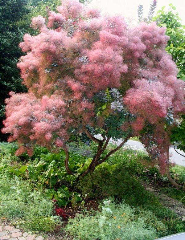 smoketree-smokebush-cotinus-coggygria
