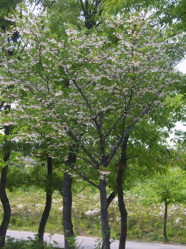snowbell-styrax-japonicus