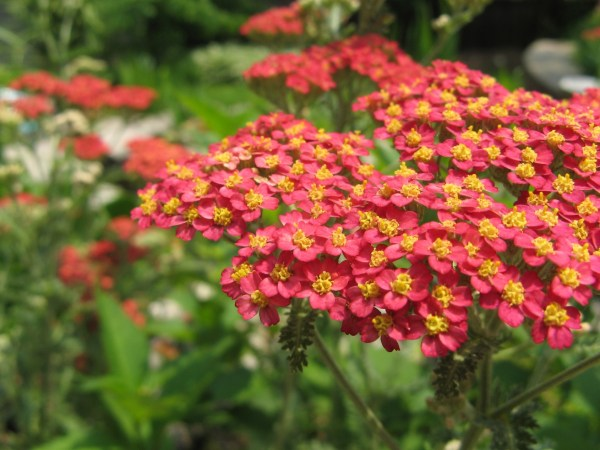 yarrow-paprika-achillea-millefolium