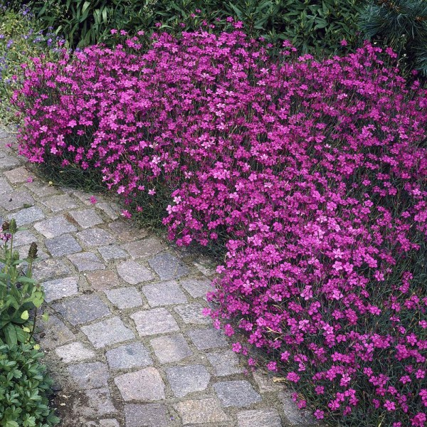 cheddar-pink-dianthus-feuerhexe-firewitch