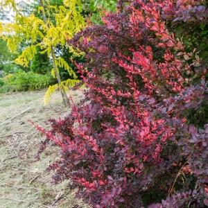 barberry-rose-glow-berberis-thunbergii-f-atropurpurea